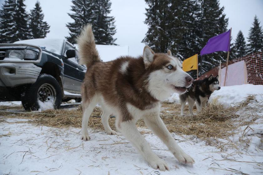 Когда собака -  и роскошь, и средство передвижения