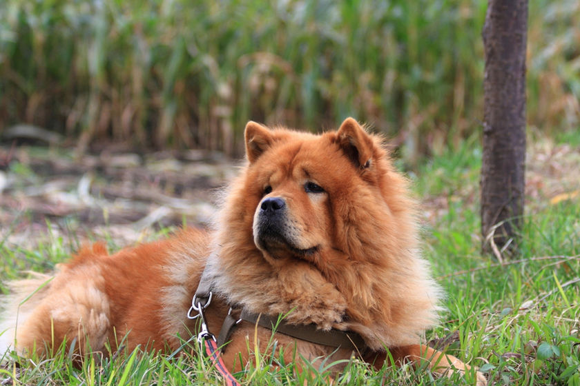 statics/upload/iblock/370/13_grass-chow-dog-chow.jpg
